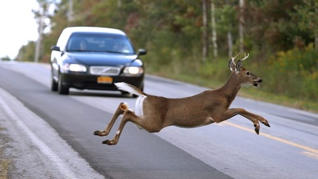 avoiding wildlife collisions
